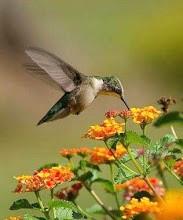 tuc_colibri